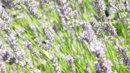 Bumblebee and honeybees 13704-1 Stock Footage