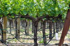 Grapevine in spring Stock Photos