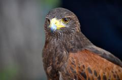 brown harris hawk predator bird - stock photo