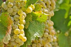 chardonnay grapes close up - stock photo