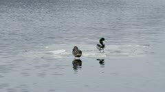 Ducks on the ice floe Stock Footage