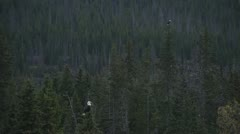 2 Bald Eagles Sitting Atop Spruce Trees Stock Footage