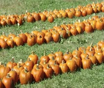 Rows of pumpkins Stock Footage