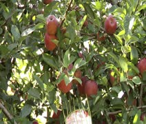 Getting Apples Using a Picker - stock footage