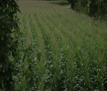 The corn field - stock footage