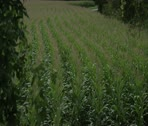 Stock Video Footage of The corn field