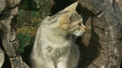 European Wildcat kitten sits in hollow trunk and looks around cu 03i Stock Footage