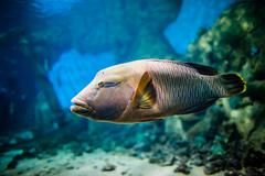 Fish - cheilinus undulatus Stock Photos