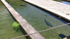Brown trout fish hatchery - stock footage