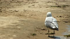 Seagull keeps feet cool on Cape Cod; 2 Stock Footage