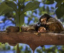 marmoset couple - stock photo