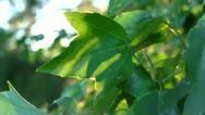 Stock Video Footage of backlit leaf