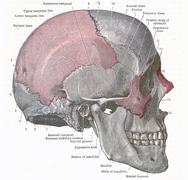 dissection of the human head - stock photo