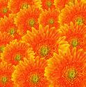 Stock Photo of orange gerbera flowers background