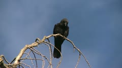 crow - stock footage