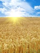 Grain field and sunny day Stock Photos