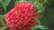 Stock Video Footage of A beautiful red flower after rain