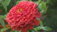 Stock Video Footage of A beautiful red flower