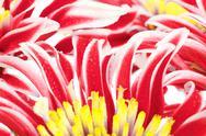 Red chrysanthemum closeup Stock Photos