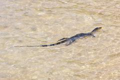 Wild young water monitor Stock Photos