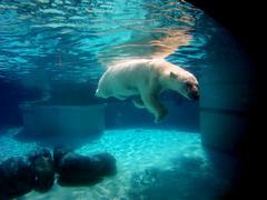 Polar Bear Swimming - Underwater Shot Stock Photos