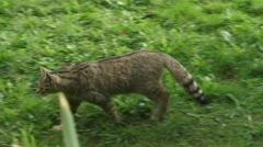 European Wildcat walking through meadow camera follows 02p Stock Footage