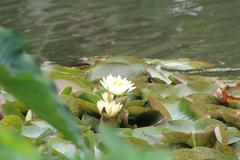 Lilies in pond Stock Photos