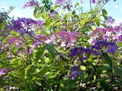 Hydrangea Aspera Maculata - stock photo