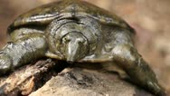 Stock Video Footage of philippine soft shelled turtle on rotting wood