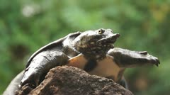 Philippine soft shelled turtle stares up Stock Footage