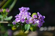 Stock Photo of Small Purple Flowers