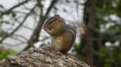 Amid Nature - Chipmunk Chirping a Warning - stock footage