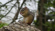 Stock Video Footage of Amid Nature - Chipmunk Chirping a Warning