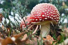 Fly Agaric Amanita Muscaria mushroom - stock photo