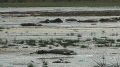 Hippopotamuses walking and moving around . Stock Footage