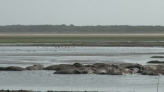 Hippopotamuses standing in the river Stock Footage