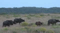Buffalo walking in the veld . Stock Footage