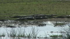 Crocodiles in the wild Stock Footage