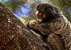 Marmoset eating banana Stock Photos