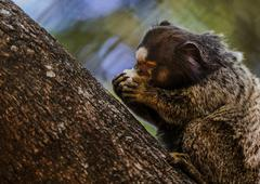 Stock Photo of Animal:marmoset eating