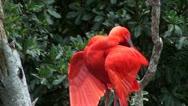 Scarlet Ibis Stock Footage