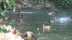 Ducks on a Pond, Funny Ducks Playing on a Lake, Ducks Running One After Another Stock Footage