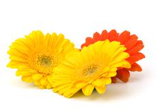 Beautiful daisy gerbera Stock Photos