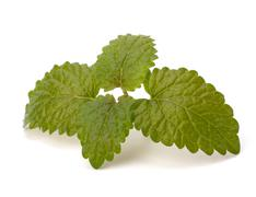 bergamot mint - stock photo