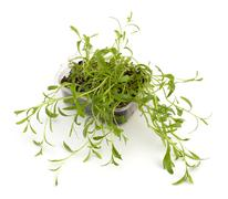 tarragon spice - stock photo