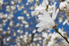 beautiful magnolia blossom - stock photo