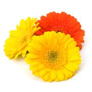 Stock Photo of beautiful daisy gerbera flowers