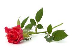 Beautiful rose   isolated on white background Stock Photos