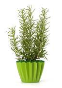 sweet rosemary plant - stock photo