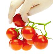 a bunch of tomatoes in the hands of a man isolated on white - stock photo